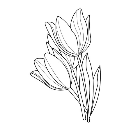 pencil drawings: Tulip flowers sketch.