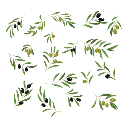 branch isolated: Olive Branches with Olives green and black. Vector Illustration