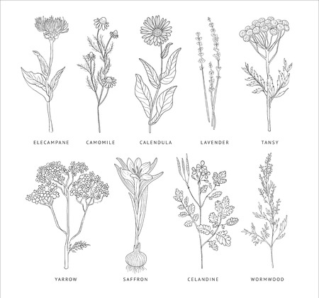calendula flower: Medical Herbs Vector Set. Hannd drawn Monochrome Style Illustration