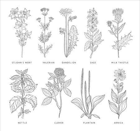 Medical Herbs Vector Set. Hannd drawn Monochrome Style Vettoriali