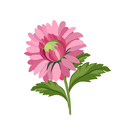 aster: Aster Hand Drawn Realistic Flat Vector Illustration In Artistic Painting Style On White Background Illustration