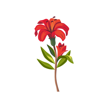 tiger lily: Tiger Lily Hand Drawn Realistic Flat Vector Illustration In Artistic Painting Style On White Background Illustration