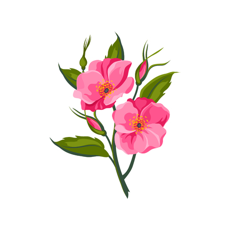 dog rose: Dog Rose Hand Drawn Realistic Flat Vector Illustration In Artistic Painting Style On White Background
