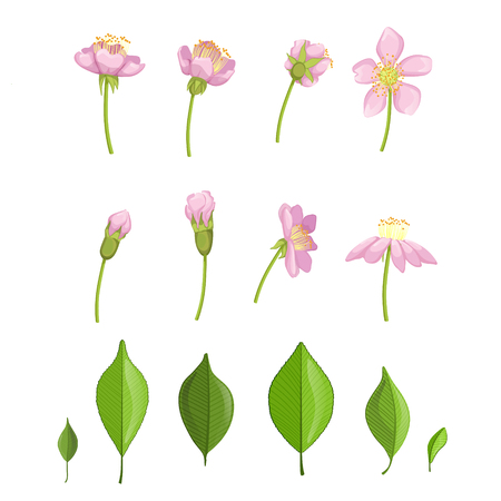 flower blooming: Cherry Blossoming Stages Hand Drawn Detailed Vector Illustration In Beautiful Realistic Style On White Background Illustration