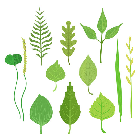 alder: Trees And Plants Leaf Collection Of Realistic Design Flat Simple Vector Illustrations On White Background