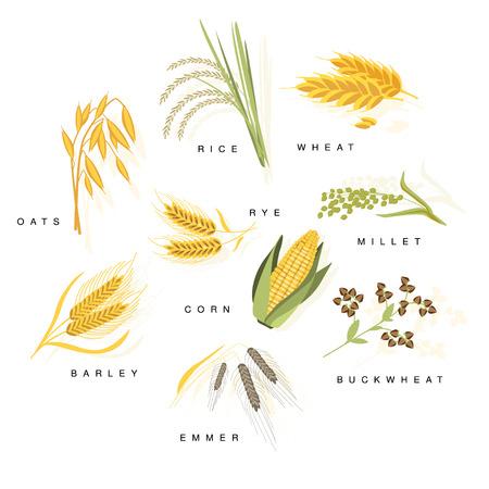 名前を持つ穀物植物が背景白にフラット現実的な明るい色のインフォ グラフィック図を設定します。  イラスト・ベクター素材