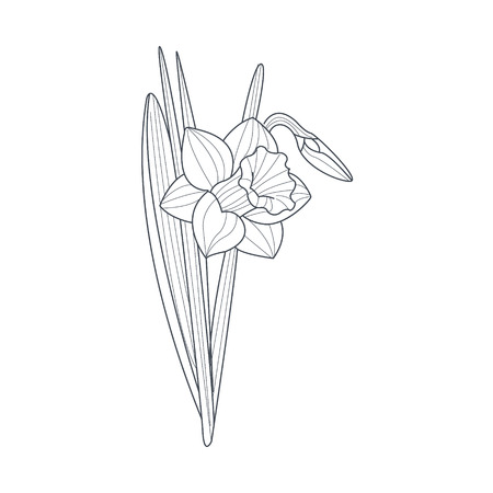 Narcissus Flower Monochrome Drawing For Coloring Book Hand Drawn Vector Simple Style Illustration