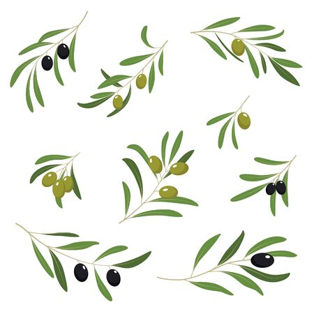 olive farm: Illustration with green and black olives collection isolated on white background