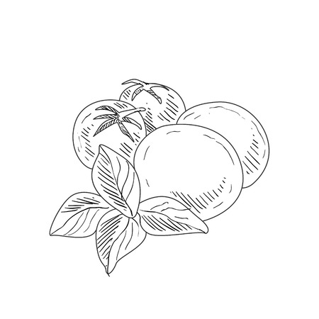 mozzarella: Mozzarella, Tomato and Basil Hand Drawn Realistic Detailed Sketch In Classy Simple Pencil Style On White Background