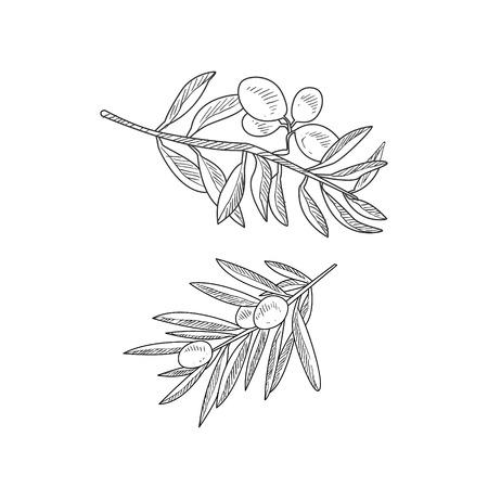 Due ramoscelli d'ulivo Disegnati a mano realistica Sketch dettagliata nell'elegante stile semplice matita su sfondo bianco
