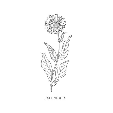 calendula: Calendula Medical Herb Hand Drawn Realistic Detailed Sketch In Beautiful Classic Herbarium Style On White Background