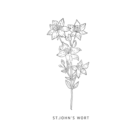wort: St. Johns Wort Medical Herb Hand Drawn Realistic Detailed Sketch In Beautiful Classic Herbarium Style On White Background Illustration