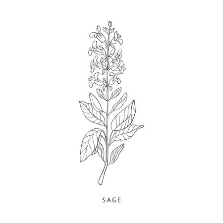 Sage Herb Medycyna Hand Drawn realistycznej szczegółowe szkic w piękny klasyczny Zielnik stylu na białym tle