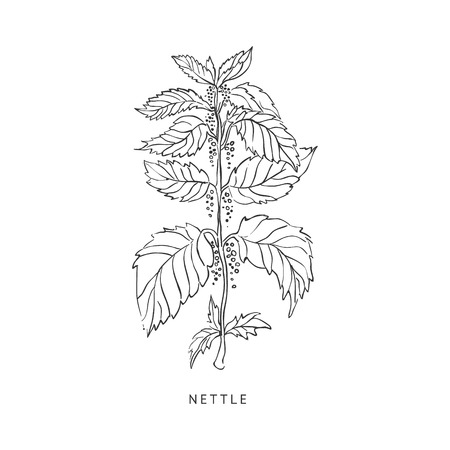 nettle: Nettle Medical Herb Hand Drawn Realistic Detailed Sketch In Beautiful Classic Herbarium Style On White Background Illustration