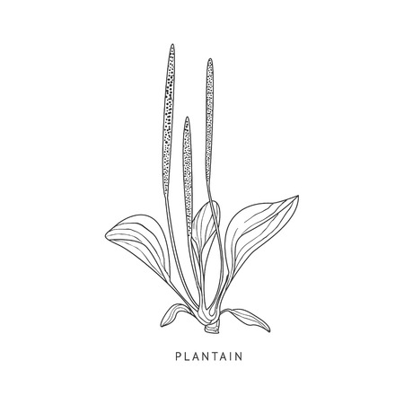 plantain: Plantain Medical Herb Hand Drawn Realistic Detailed Sketch In Beautiful Classic Herbarium Style On White Background Illustration