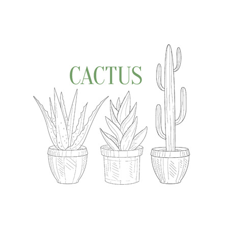tall: Three Tall Cacti In Pots Hand Drawn Realistic Detailed Sketch In Classy Simple Pencil Style On White Background Illustration