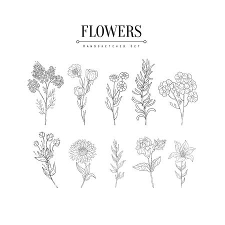 calendula: Flower Herbarium Hand Drawn Realistic Detailed Sketch In Classy Simple Pencil Style On White Background