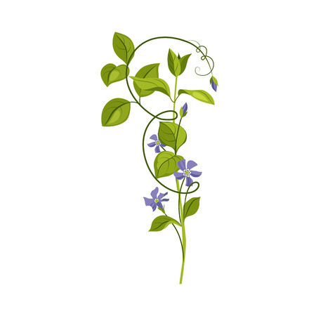 Bindweed Wild Flower Hand Drawn Detailed Illustration. Plant Realistic Artistic Drawing Isolated On White Background.