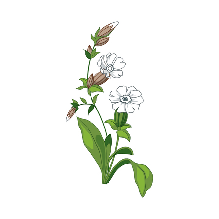wild flower: White Marigold Wild Flower Hand Drawn Detailed Illustration. Plant Realistic Artistic Drawing Isolated On White Background.