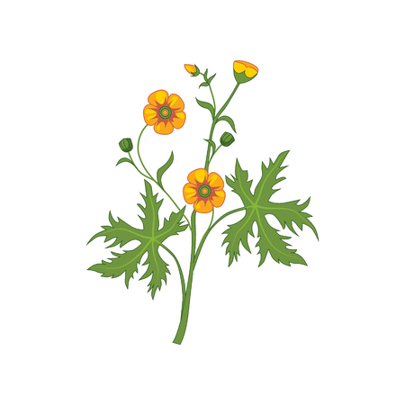 buttercup  decorative: Buttercup Wild Flower Hand Drawn Detailed Illustration. Plant Realistic Artistic Drawing Isolated On White Background.
