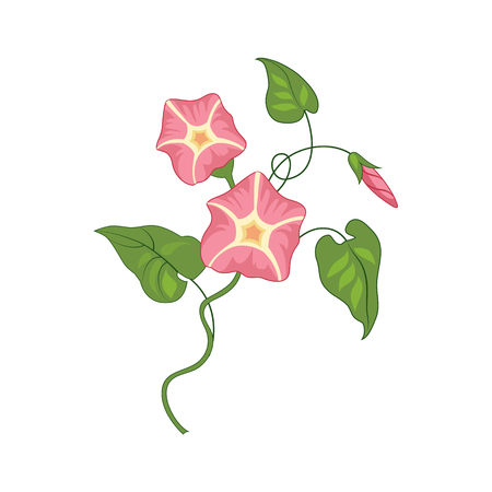 convolvulus: Morning Glory Wild Flower Hand Drawn Detailed Illustration. Plant Realistic Artistic Drawing Isolated On White Background. Illustration
