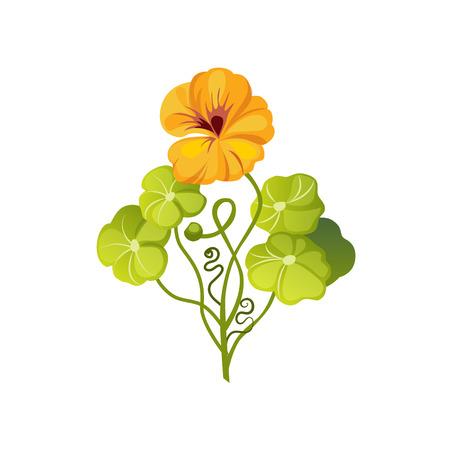 nasturtium: Nasturtium Wild Flower Hand Drawn Detailed Illustration. Plant Realistic Artistic Drawing Isolated On White Background.