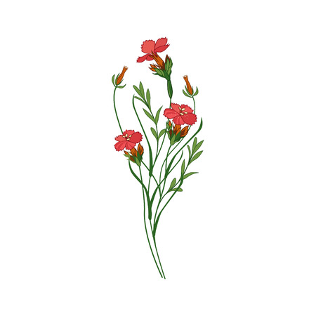 Sweet William Wild Flower Hand Drawn Detailed Illustration. Plant Realistic Artistic Drawing Isolated On White Background. Illustration