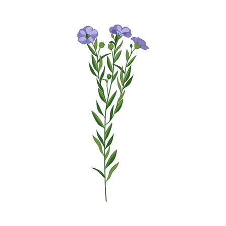 Flax Wild Flower Hand Drawn Detailed Illustration. Plant Realistic Artistic Drawing Isolated On White Background.
