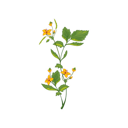 wild flower: Celandine Wild Flower Hand Drawn Detailed Illustration. Plant Realistic Artistic Drawing Isolated On White Background.