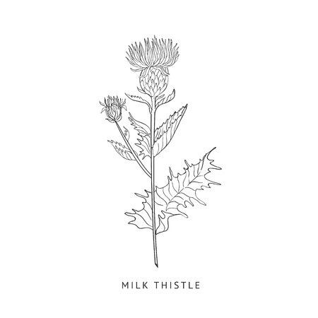 Milk Thistle Hand Drawn Realistic Sketch