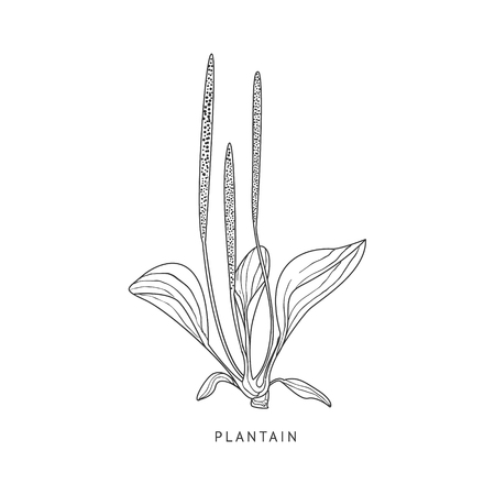 plantain herb: Plantain Hand Drawn Realistic Sketch