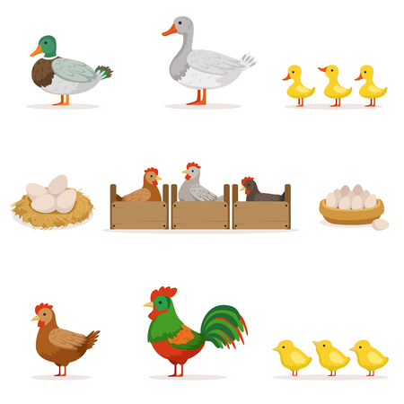 Farm Birds Grown For Meat and For Laying Eggs, Organic Farming Series Of Vector Illustrations With Animals Illustration
