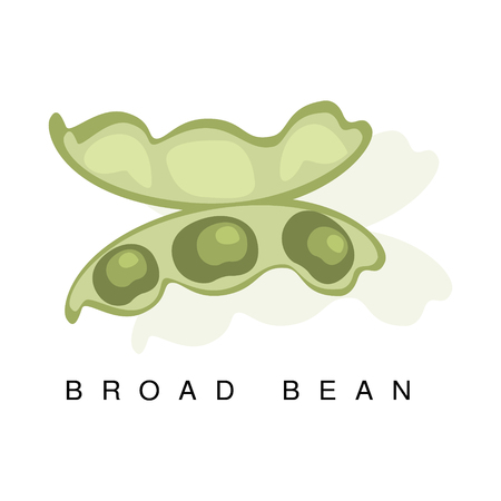 Broad Bean Pod, Infographic Illustration With Realistic Pod-Bearing Legumes Plant And Its Name Çizim