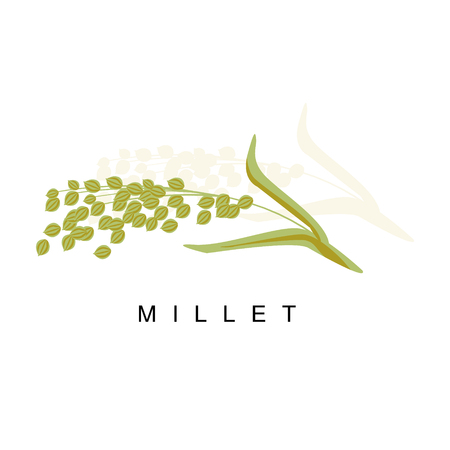 Millet Ear, Infographic Illustration With Realistic Cereal Crop Plant And Its Name