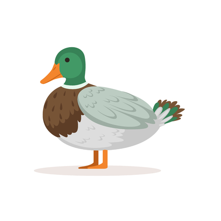 Domestic duck, poultry breeding vector Illustration