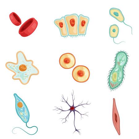詳細なベクトル イラストのセットをひと細胞の解剖学  イラスト・ベクター素材