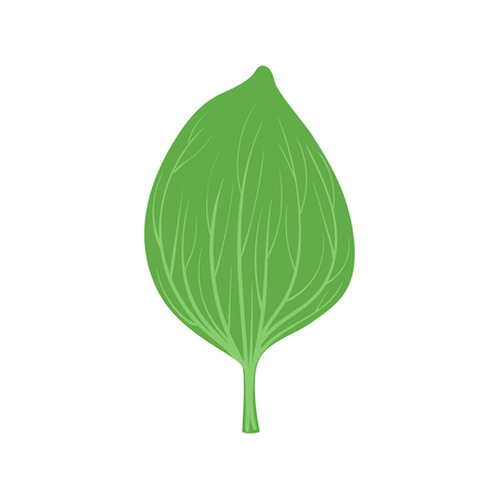 Green leaf of plantain vector Illustration on a white background