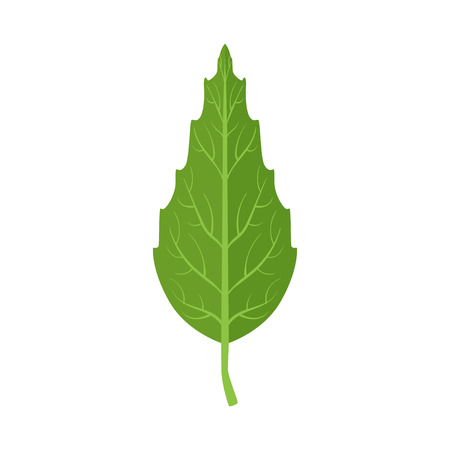 Beech tree green leaf vector Illustration on a white background