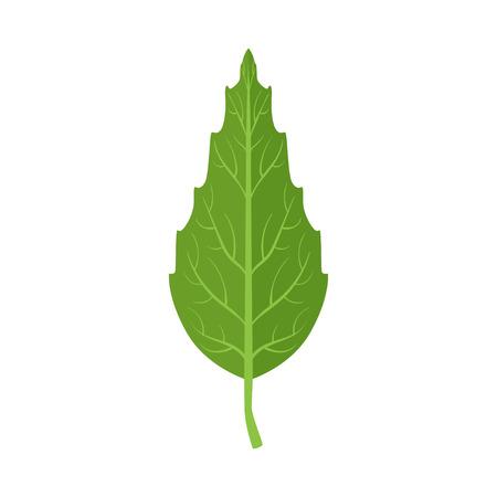 Illustrazione di vettore della foglia verde dell'albero di faggio su un fondo bianco Archivio Fotografico - 85203787