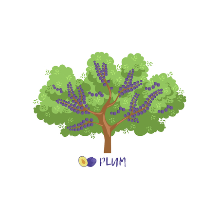 Pruim tuin fruitboom met naam vector illustratie op een witte achtergrond