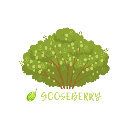 Gooseberry garden berry bush with name vector Illustration
