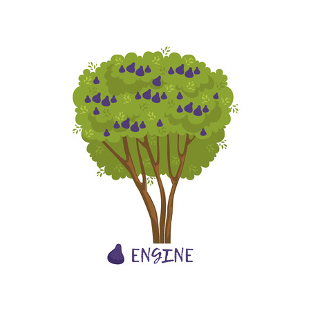 Fig or engine garden fruit tree with name vector Illustration