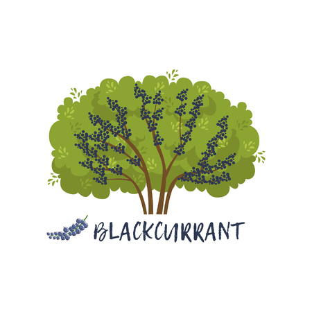 Blackcurrant garden berry bush with name vector Illustration