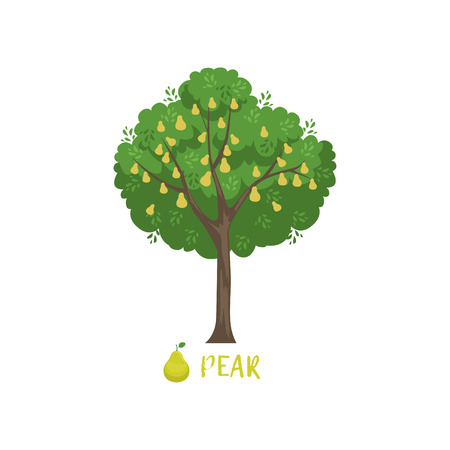 Pear garden fruit tree with name vector Illustration on a white background