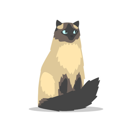 Purebred long-haired birman cat with blue eyes, dark markings on muzzle, tail and paws. Cartoon domestic animal. Flat vector for veterinary clinic poster, banner or flyer