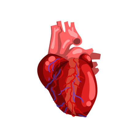 Human heart, internal organ anatomy vector Illustration on a white background