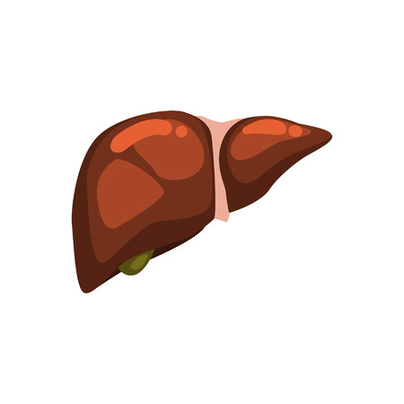Human liver, internal organ anatomy vector Illustration on a white background