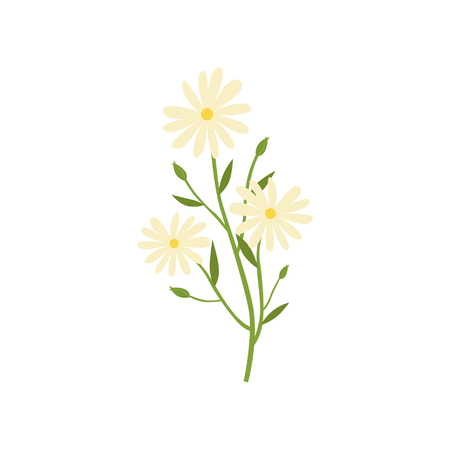 Chamomile plant, natural remedy for cold treatment vector Illustration isolated on a white background.