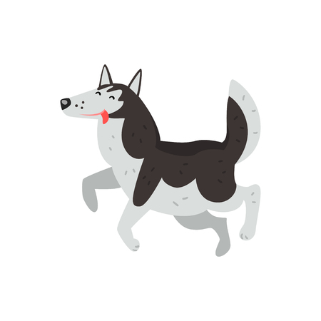 Siberian husky dog character running putting his tongue out vector Illustrations on a white background