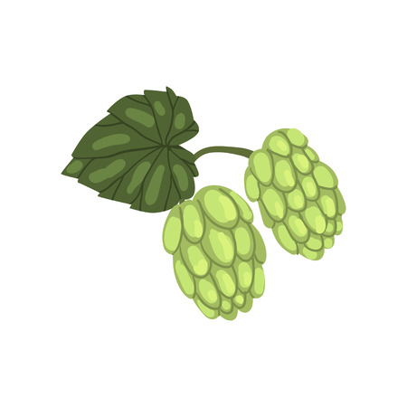 Green hops, humulus lupulus plant, element for brewery products design vector illustration on a white background. Illustration